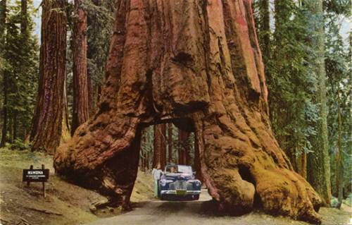 wawona-drive-through-tree
