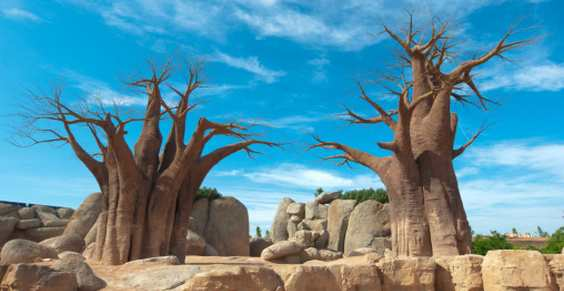 baobab alberi secolari