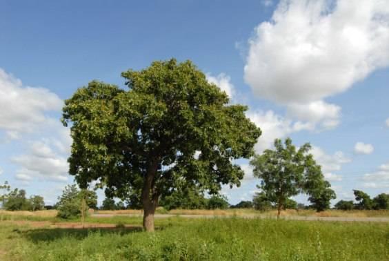 burro karite albero
