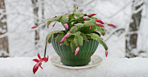 Travaso Stella Di Natale.Cactus Di Natale Come Prendersene Cura Greenme It