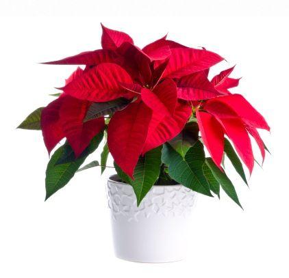 Stella Di Natale In Casa.Stella Di Natale Come Prolungarne La Vita Greenme It
