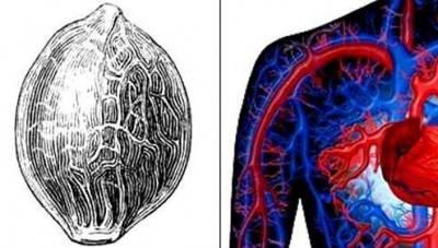 Segnatura della forma: le nervature sui semi di canapa come il sistema circolatorio