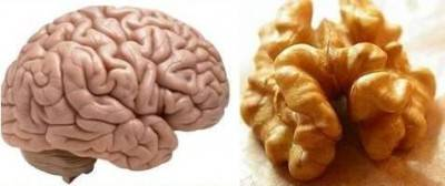 Segnatura della forma: il gheriglio di noce come il cervello, il suo guscio come il cranio