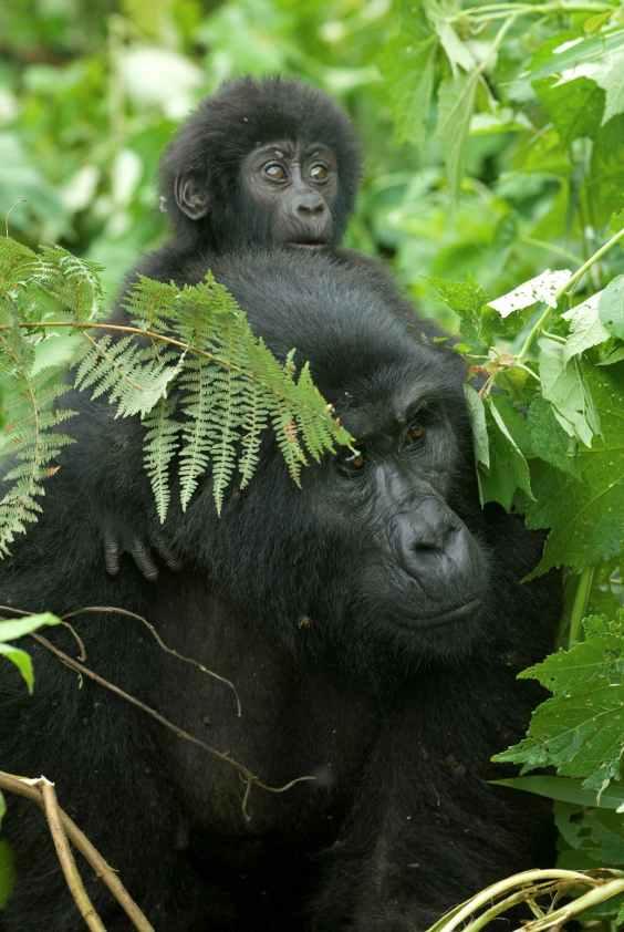 Gorilla di montagna WWF lr