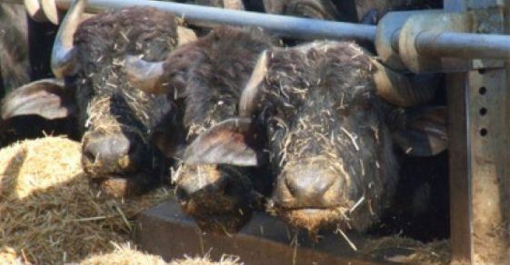 bufale caserta