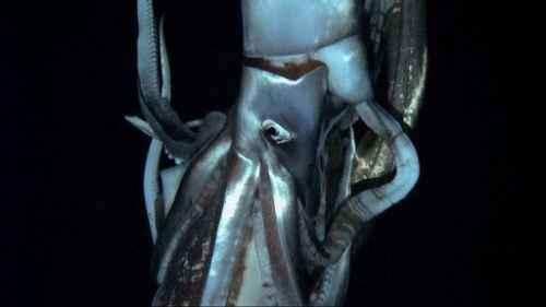 calamaro gigante1