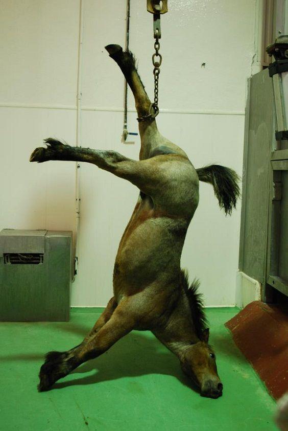 cavallo macellato