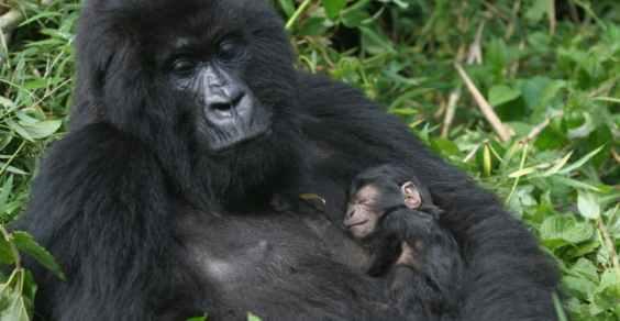 gorilla mille