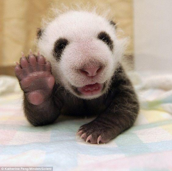 panda ciao