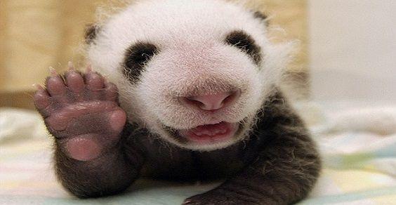 panda fa ciao