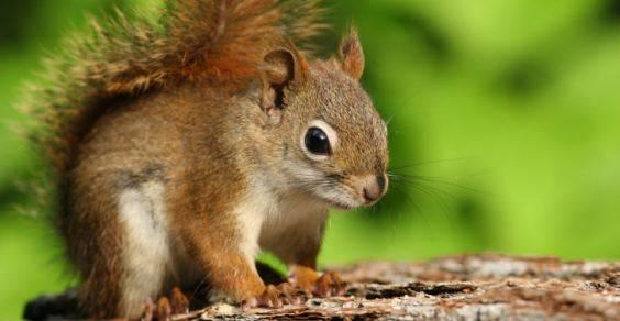 scoiattolo rosso cover