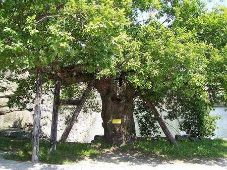 alberi hiroshima 2