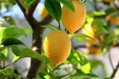 limoni vaso - fonte foto: gardenofeaden.blogspot.com