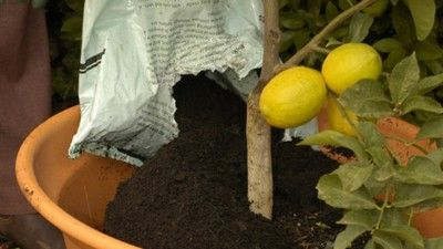 limoni vaso - fonte foto: homeife.com.au