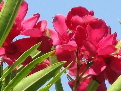 oleandro - fonte foto: ehow.com