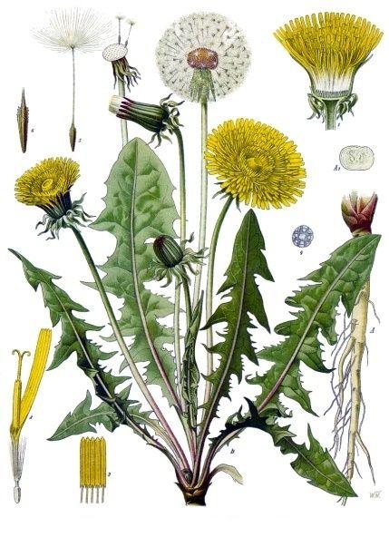Taraxacum officinale - Köhlers Medizinal-Pflanzen-135