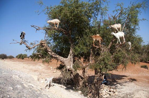 capre albero2