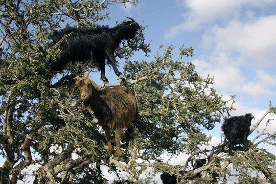 capre albero 6