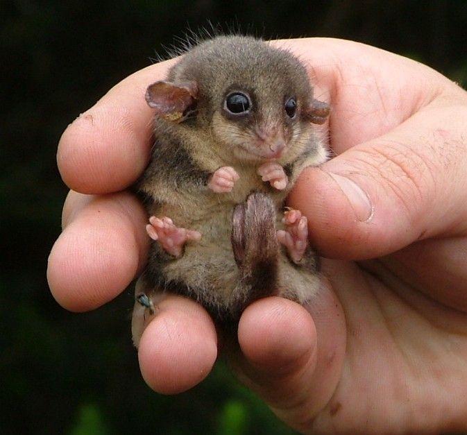 eastern-pygmy-possum