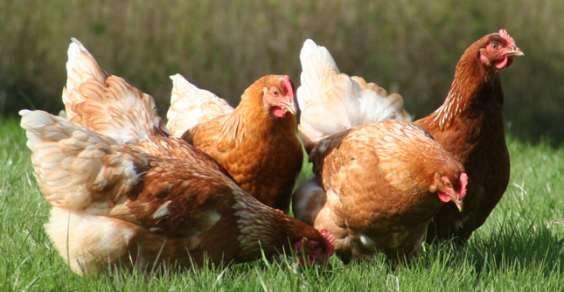 francia polli scarti alimentari