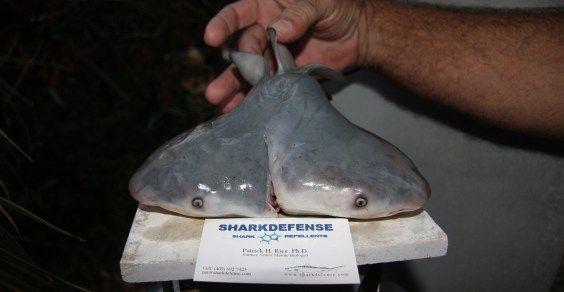squalo dueteste