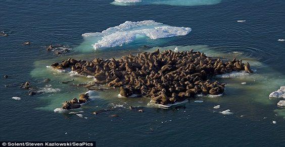 walrus island