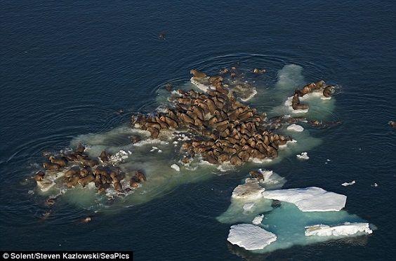 walrus island4