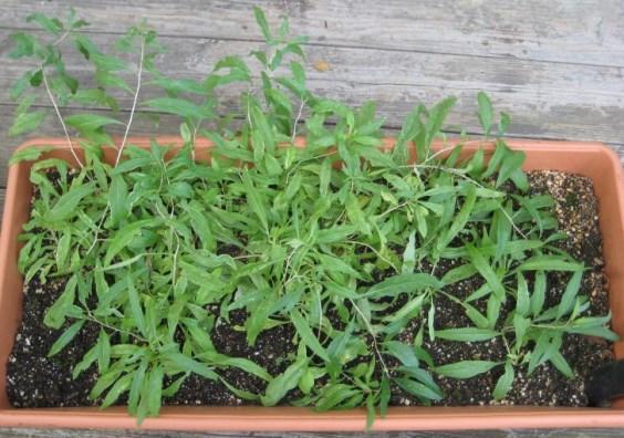 bacche di goji coltivare