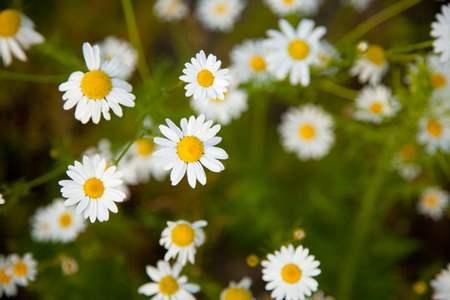 camomilla fiori - fonte foto: publicdomainpictures.net