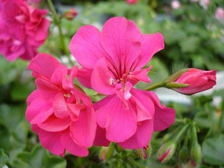 gerani - fonte foto: treesflowers.com