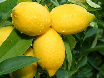 limoni limoncello - fonte foto: beliefnet.com