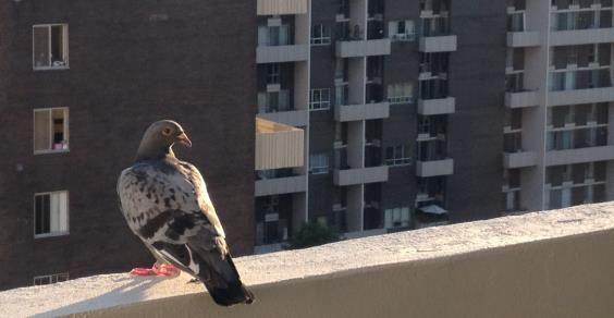 piccione balcone
