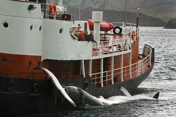 balene caccia2