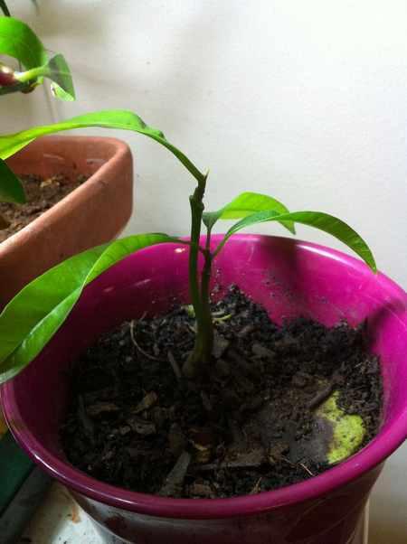 coltivare mango 5