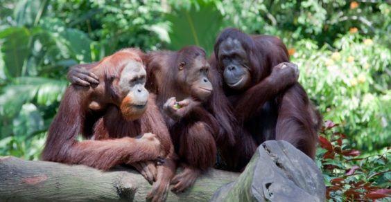 olio di palma indonesia
