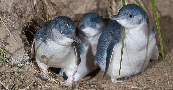 pnguini estinzione little penguins