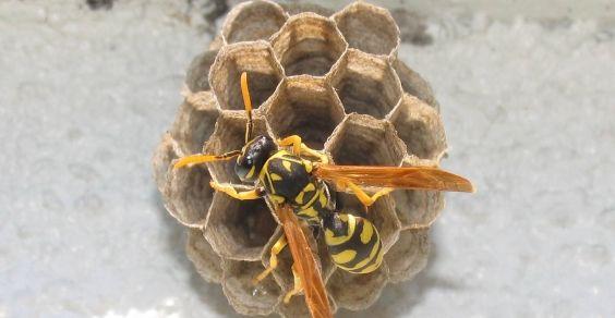 wasp-hive