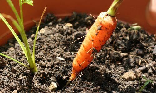 b2ap3_thumbnail_orto-sul-balcone-coltivare-carote.jpg