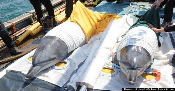 delfini corea
