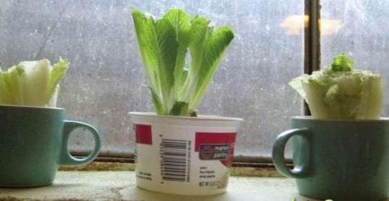 lattuga coltivare scarti