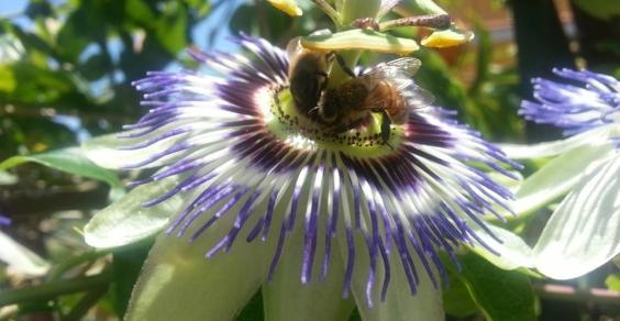 passiflora api COVER