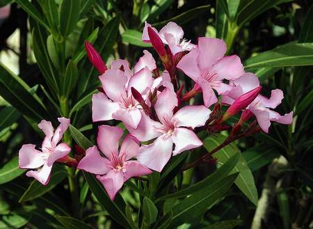 piante velenose 10 oleandro