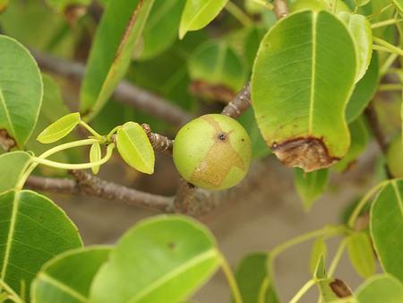 piante velenose 1 mancinella