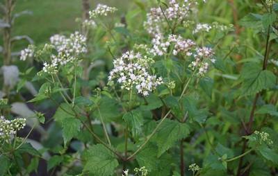 piante velenose 4 eupatorium rugosum