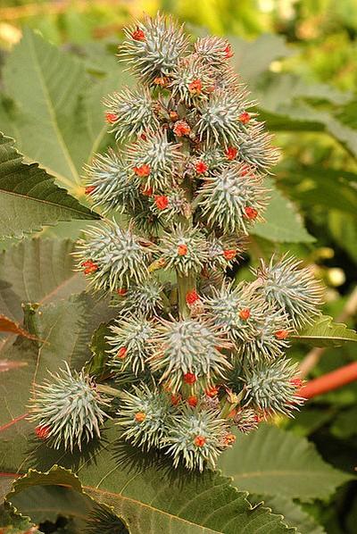 piante velenose 6 ricino