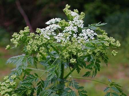 piante velenose 9 cicuta