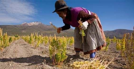 coltivazione di quinoa