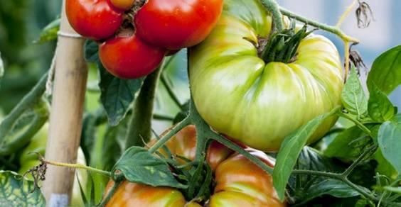 conservare semi di pomodoro