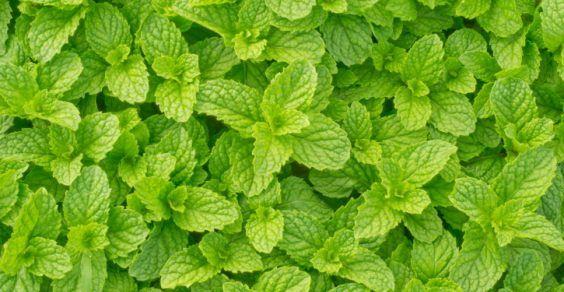 menta aromaterapia
