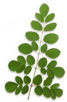 moringa oleifera foglie